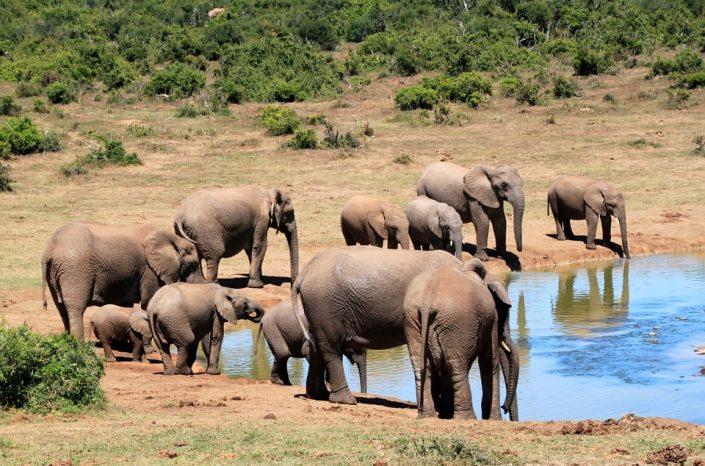https://pixabay.com/en/elephant-african-bush-elephant-241624/
